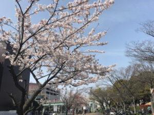 茅ヶ崎中央公園前の桜