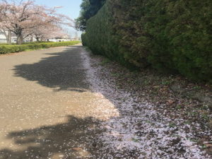 さくら花びら北側道路