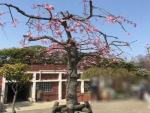 中央公園入り口付近の桜と公衆トイレ