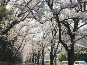 茅ヶ崎中央公園北側桜並木