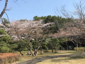 桜のお花見ちらほら