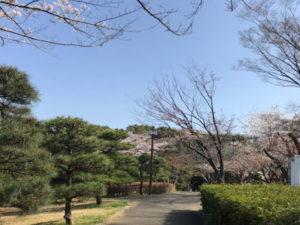 噴水裏のさくら|茅ヶ崎中央公園