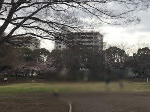中央公園奥右側の桜